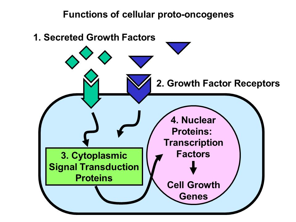 4. Nuclear Proteins: Transcription Factors Cell Growth Genes 3.