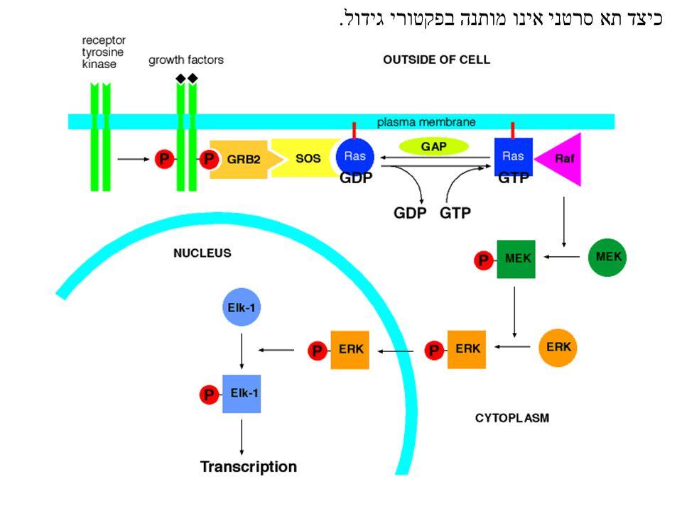 כיצד תא סרטני אינו מותנה בפקטורי גידול.
