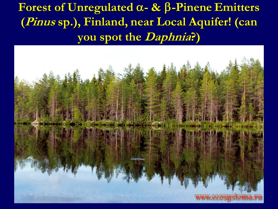 Forest of Unregulated  - &  -Pinene Emitters (Pinus sp.), Finland, near Local Aquifer! (can you spot the Daphnia?)