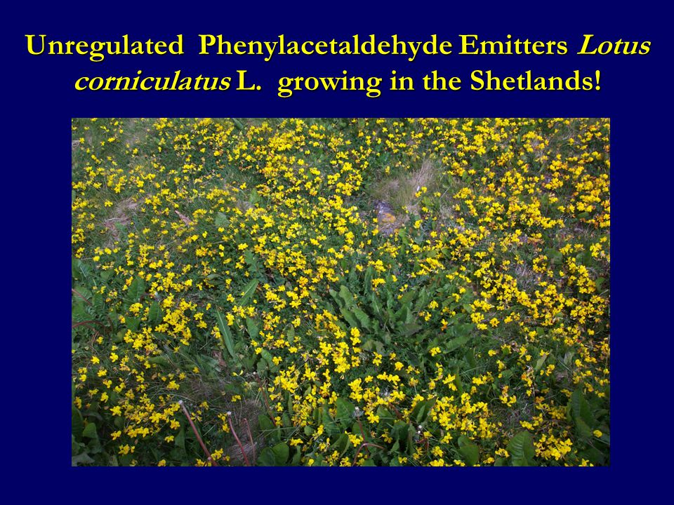 Unregulated Phenylacetaldehyde Emitters Lotus corniculatus L. growing in the Shetlands!