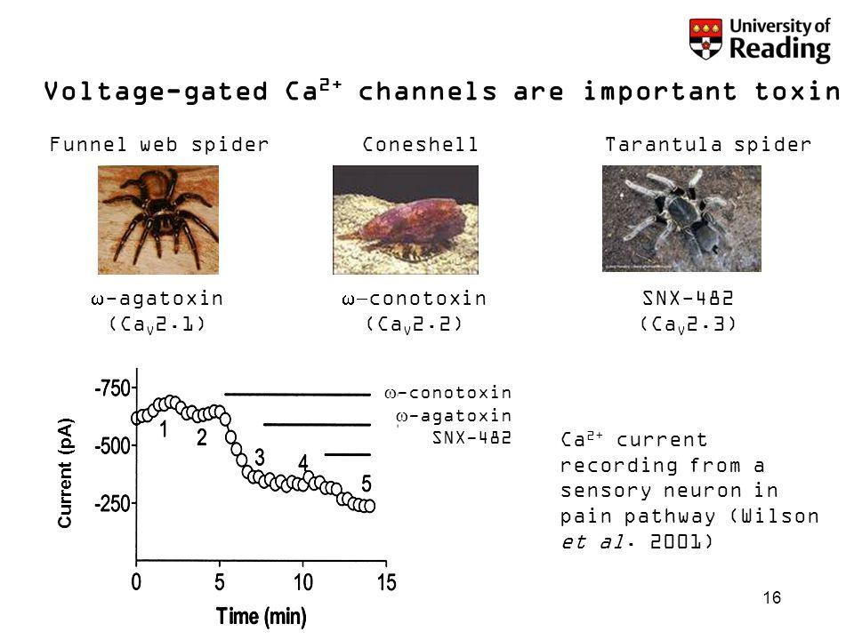 16 Voltage-gated Ca 2+ channels are important toxin targets Funnel web spiderConeshellTarantula spider  -agatoxin (Ca V 2.1)  conotoxin (Ca V 2.2)
