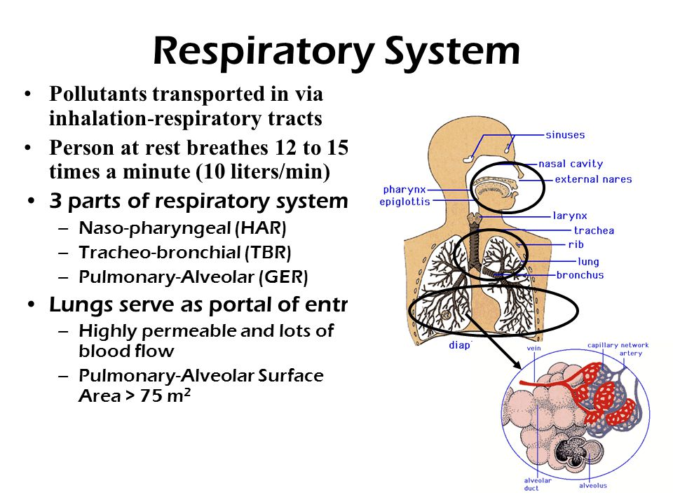 Respiratory System Pollutants transported in via inhalation-respiratory tracts Person at rest breathes 12 to 15 times a minute (10 liters/min) 3 parts