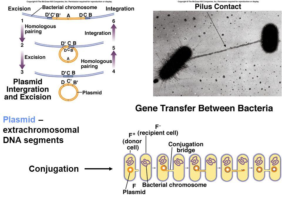 Plasmid – extrachromosomal DNA segments Conjugation