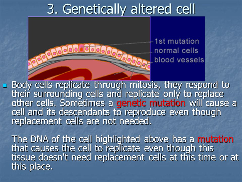 3. Genetically altered cell Body cells replicate through mitosis, they respond to their surrounding cells and replicate only to replace other cells. S