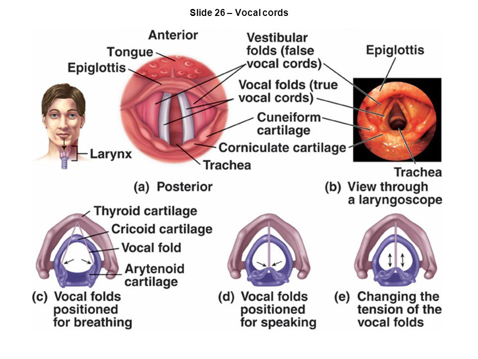Slide 26 – Vocal cords