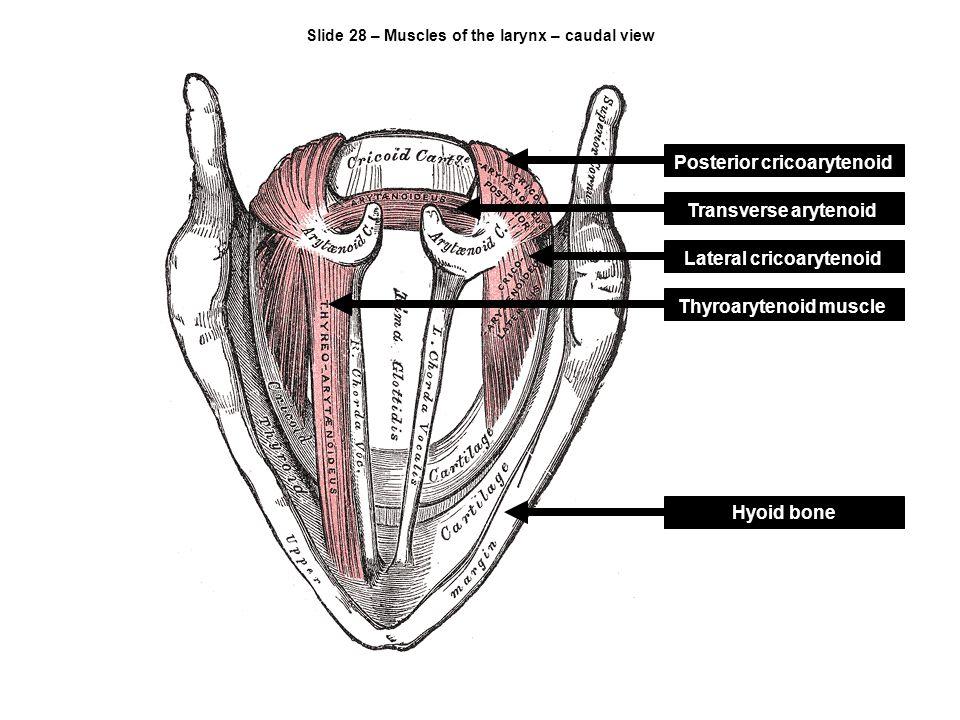 Slide 28 – Muscles of the larynx – caudal view Posterior cricoarytenoid Transverse arytenoid Lateral cricoarytenoid Thyroarytenoid muscle Hyoid bone