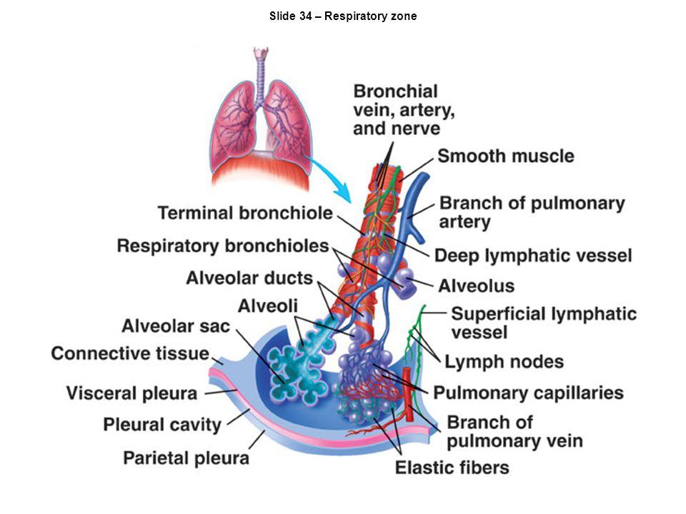 Slide 34 – Respiratory zone
