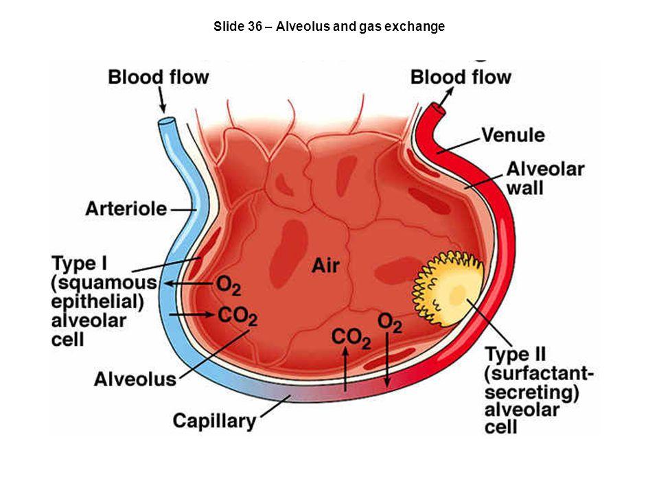 Slide 36 – Alveolus and gas exchange