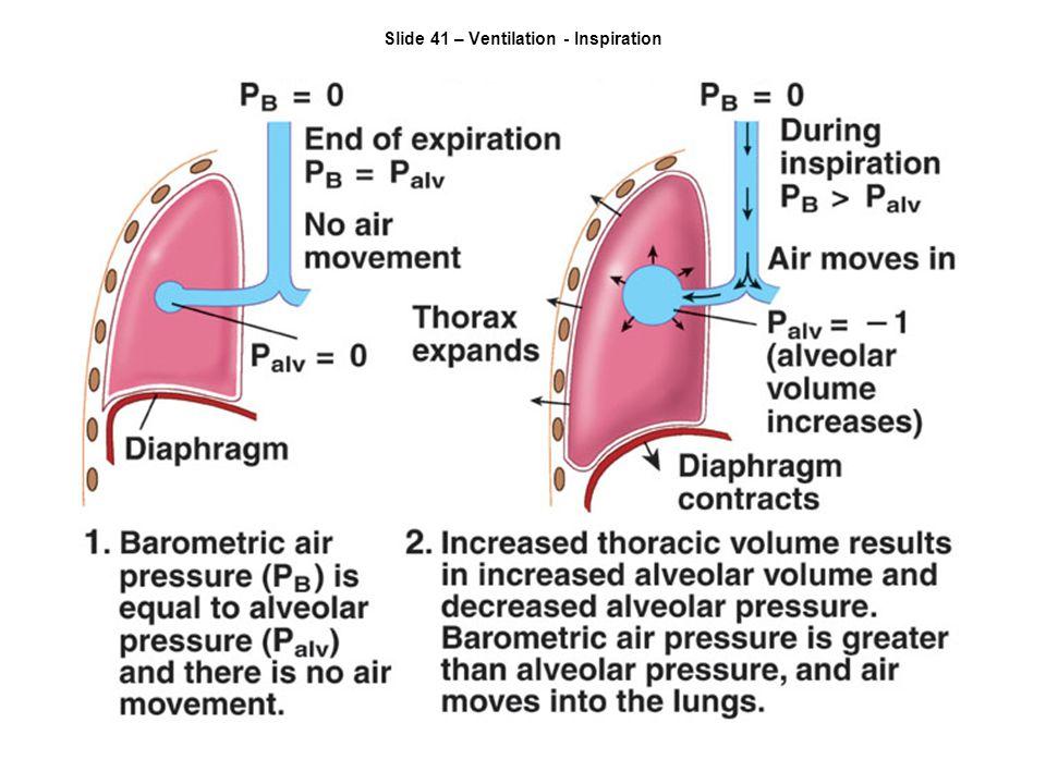 Slide 41 – Ventilation - Inspiration