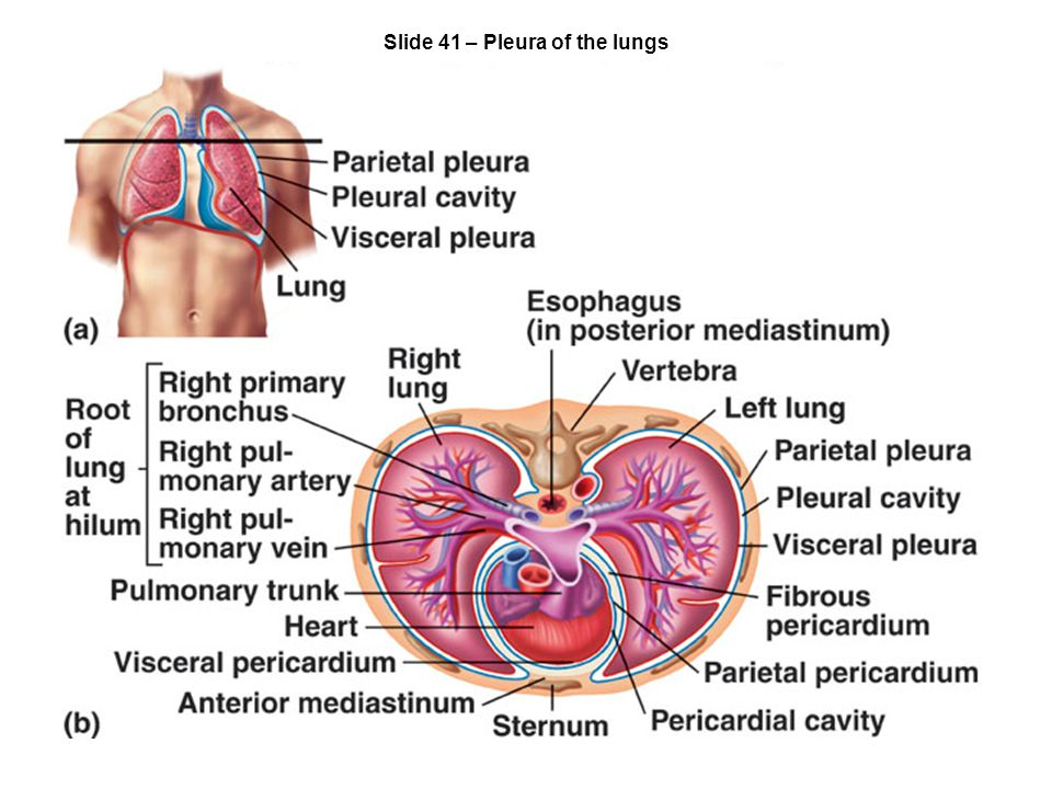 Slide 41 – Pleura of the lungs