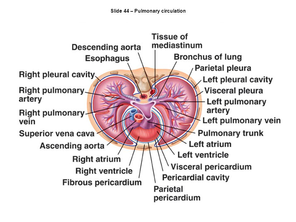 Slide 44 – Pulmonary circulation
