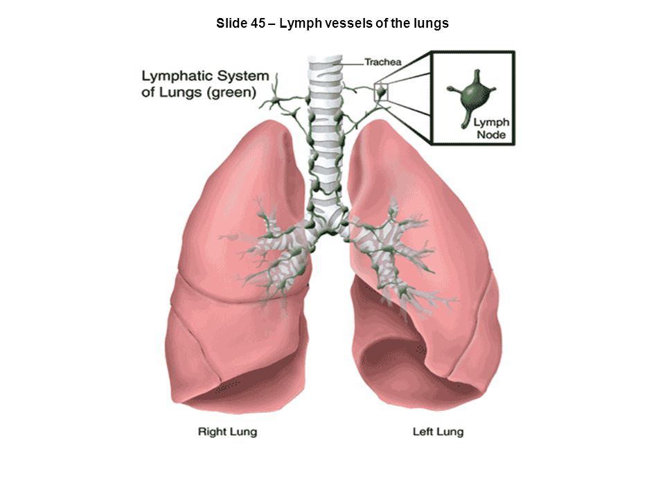 Slide 45 – Lymph vessels of the lungs