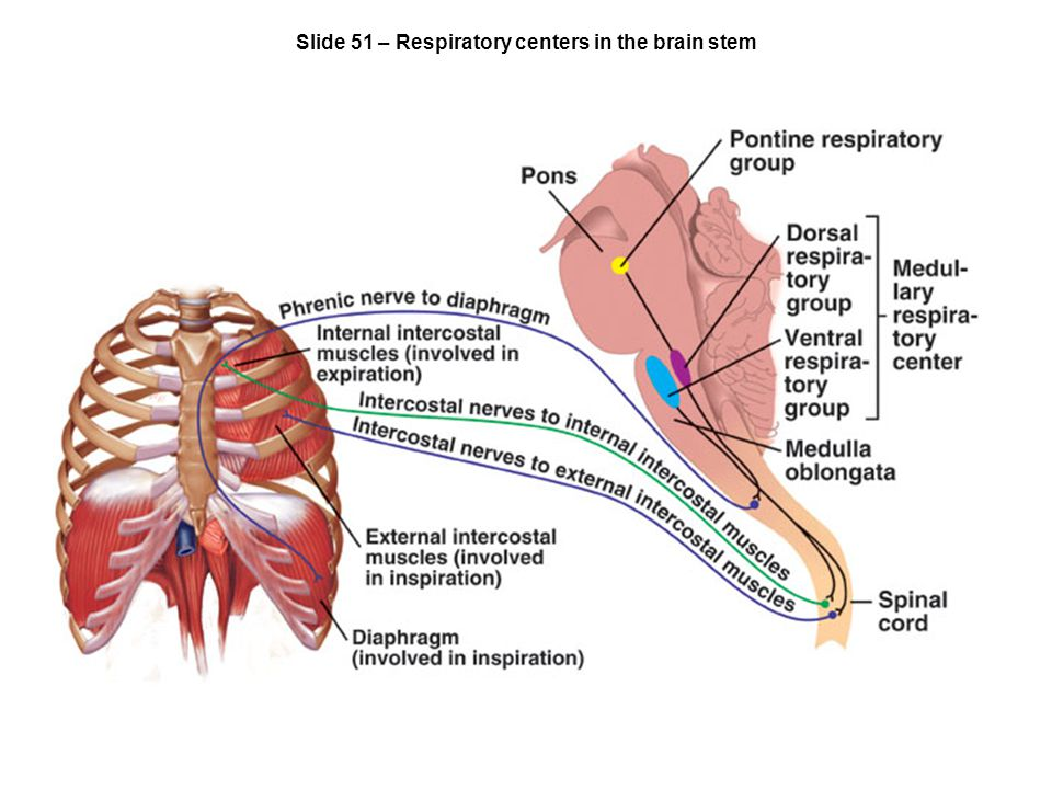 Slide 51 – Respiratory centers in the brain stem