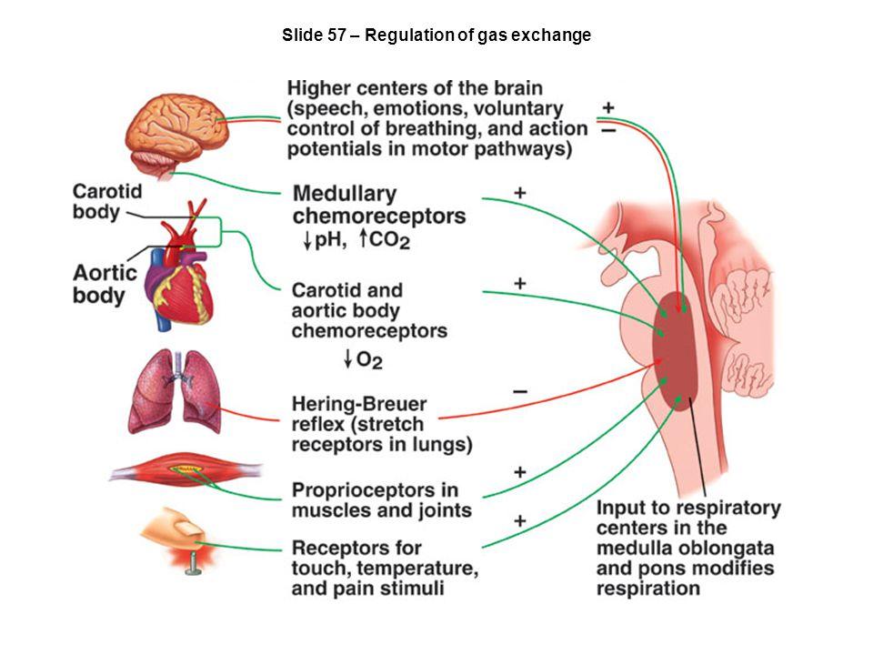 Slide 57 – Regulation of gas exchange