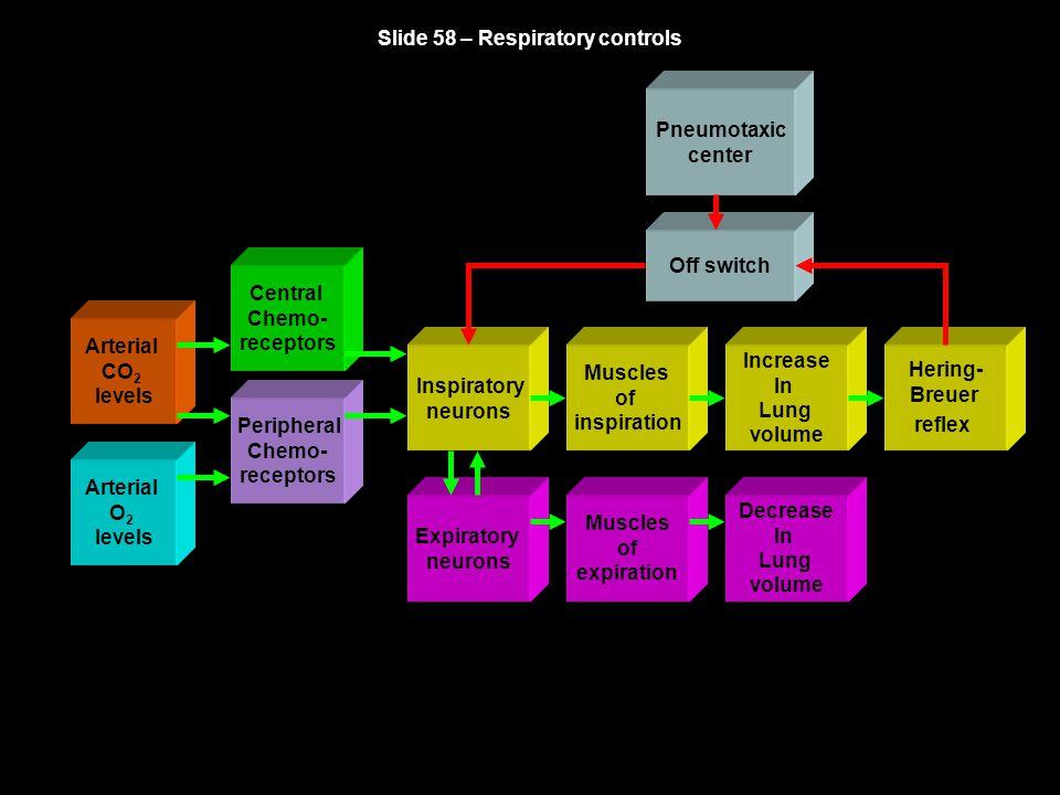 Slide 58 – Respiratory controls Arterial CO 2 levels Arterial O 2 levels Central Chemo- receptors Peripheral Chemo- receptors Inspiratory neurons Musc