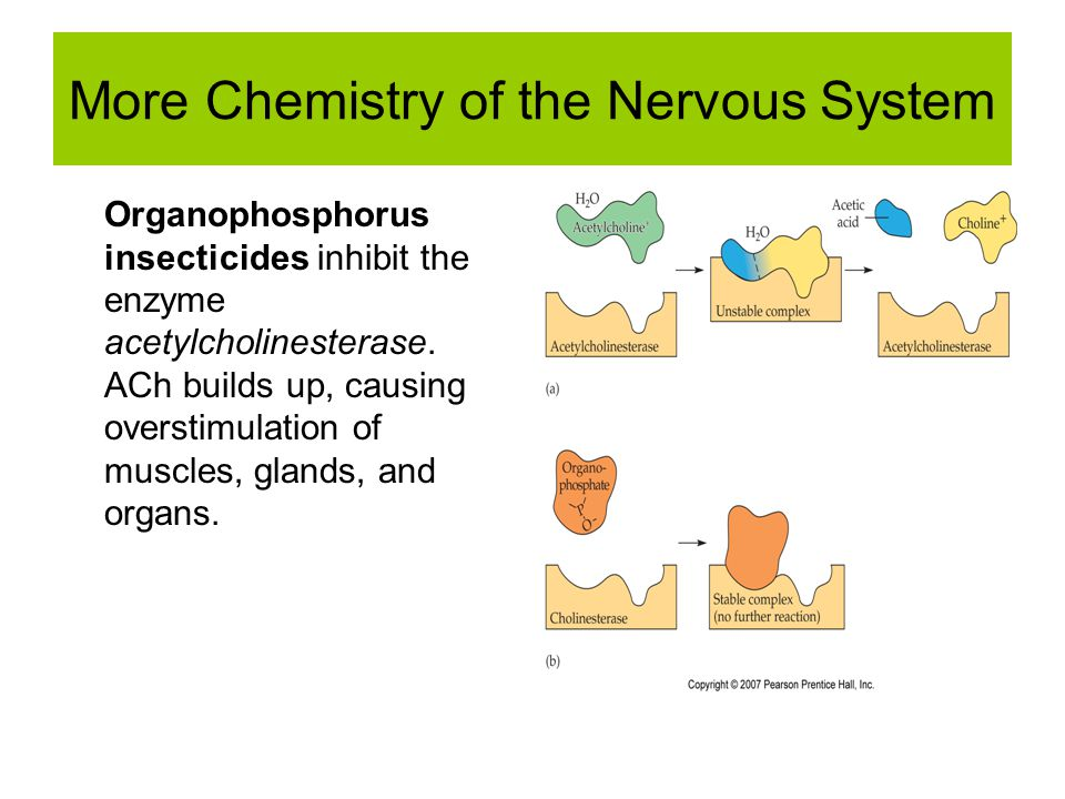 More Chemistry of the Nervous System Organophosphorus insecticides inhibit the enzyme acetylcholinesterase.