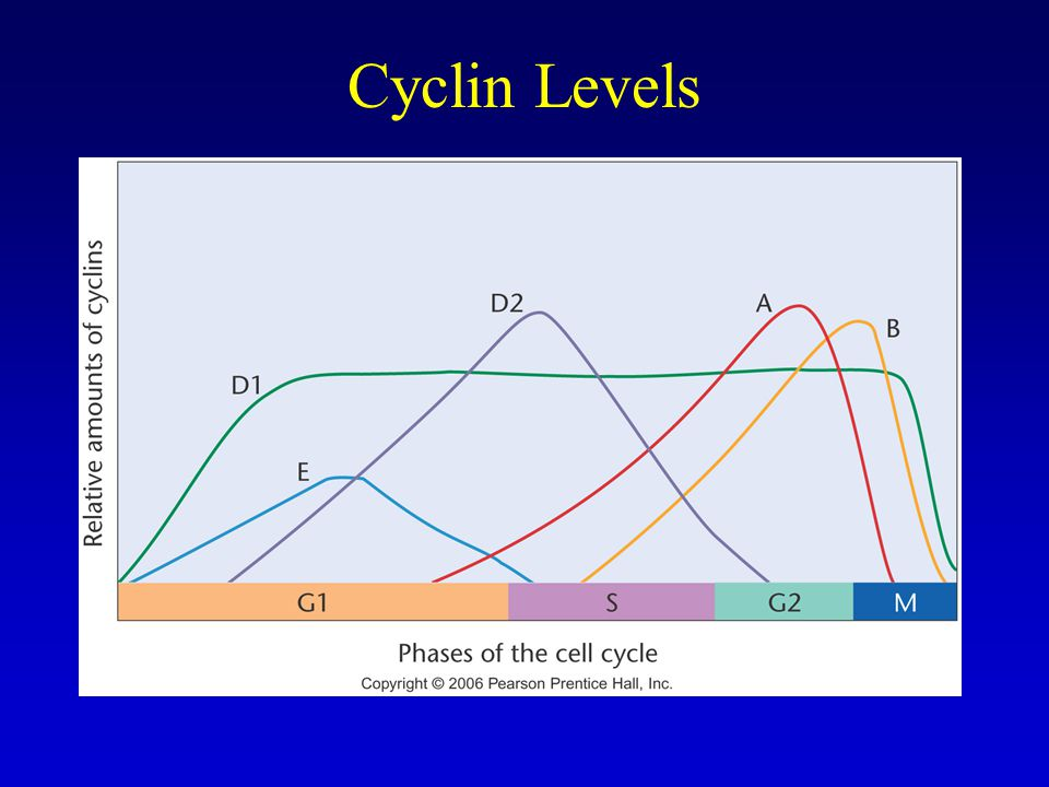 Cyclin Levels