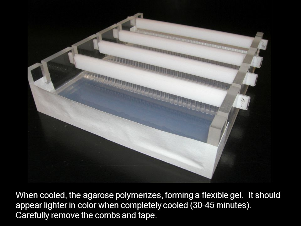 When cooled, the agarose polymerizes, forming a flexible gel.