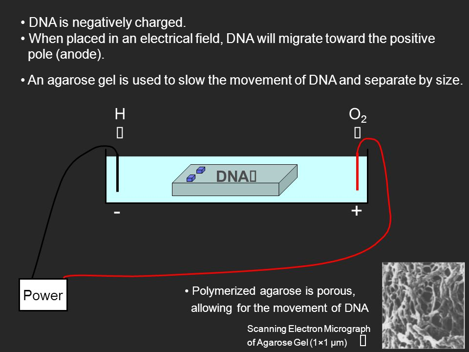 DNA is negatively charged. +- Power DNA  When placed in an electrical field, DNA will migrate toward the positive pole (anode). HH O2O2 An agaros