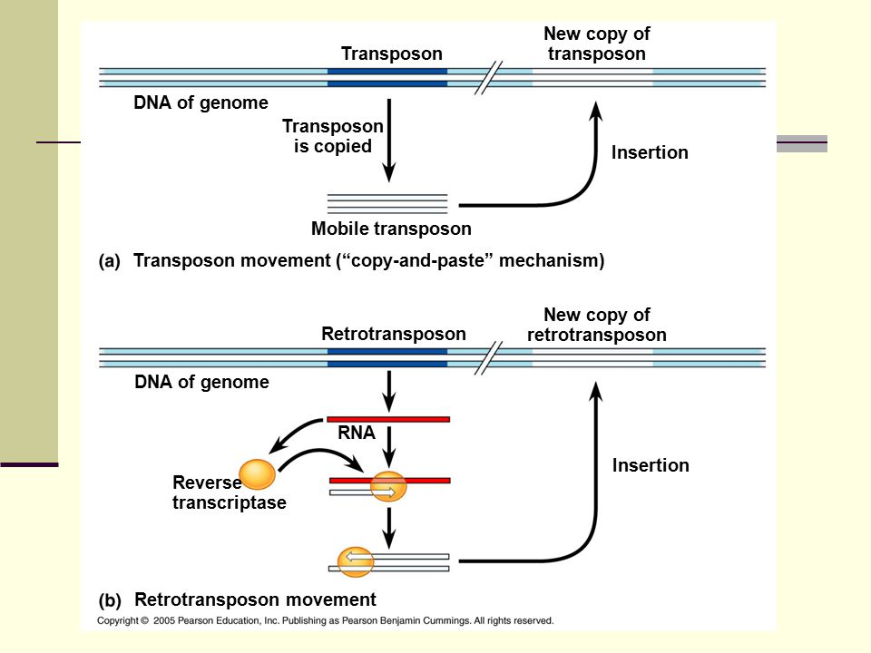 DNA of genome Transposon is copied Mobile transposon Transposon Insertion New copy of transposon Transposon movement ( copy-and-paste mechanism) Retrotransposon movement DNA of genome Insertion RNA Reverse transcriptase Retrotransposon New copy of retrotransposon