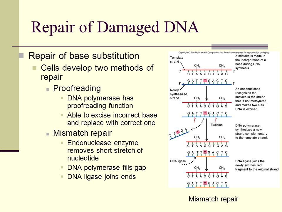 Repair of Damaged DNA Repair of base substitution Cells develop two methods of repair Proofreading  DNA polymerase has proofreading function  Able to excise incorrect base and replace with correct one Mismatch repair  Endonuclease enzyme removes short stretch of nucleotide  DNA polymerase fills gap  DNA ligase joins ends Mismatch repair