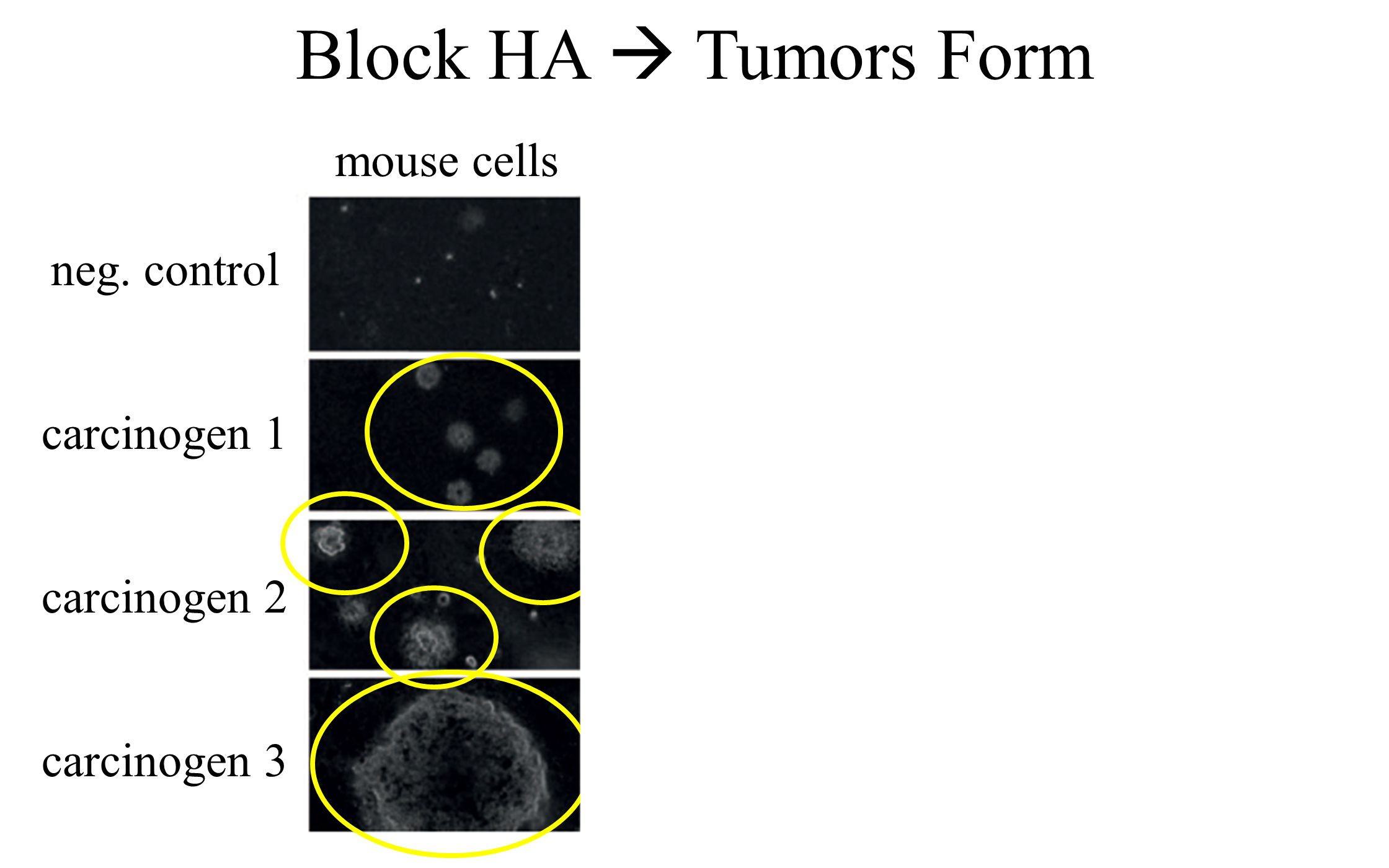 Block HA  Tumors Form neg. control carcinogen 1 carcinogen 2 carcinogen 3 mouse cells NMR NMR - HA