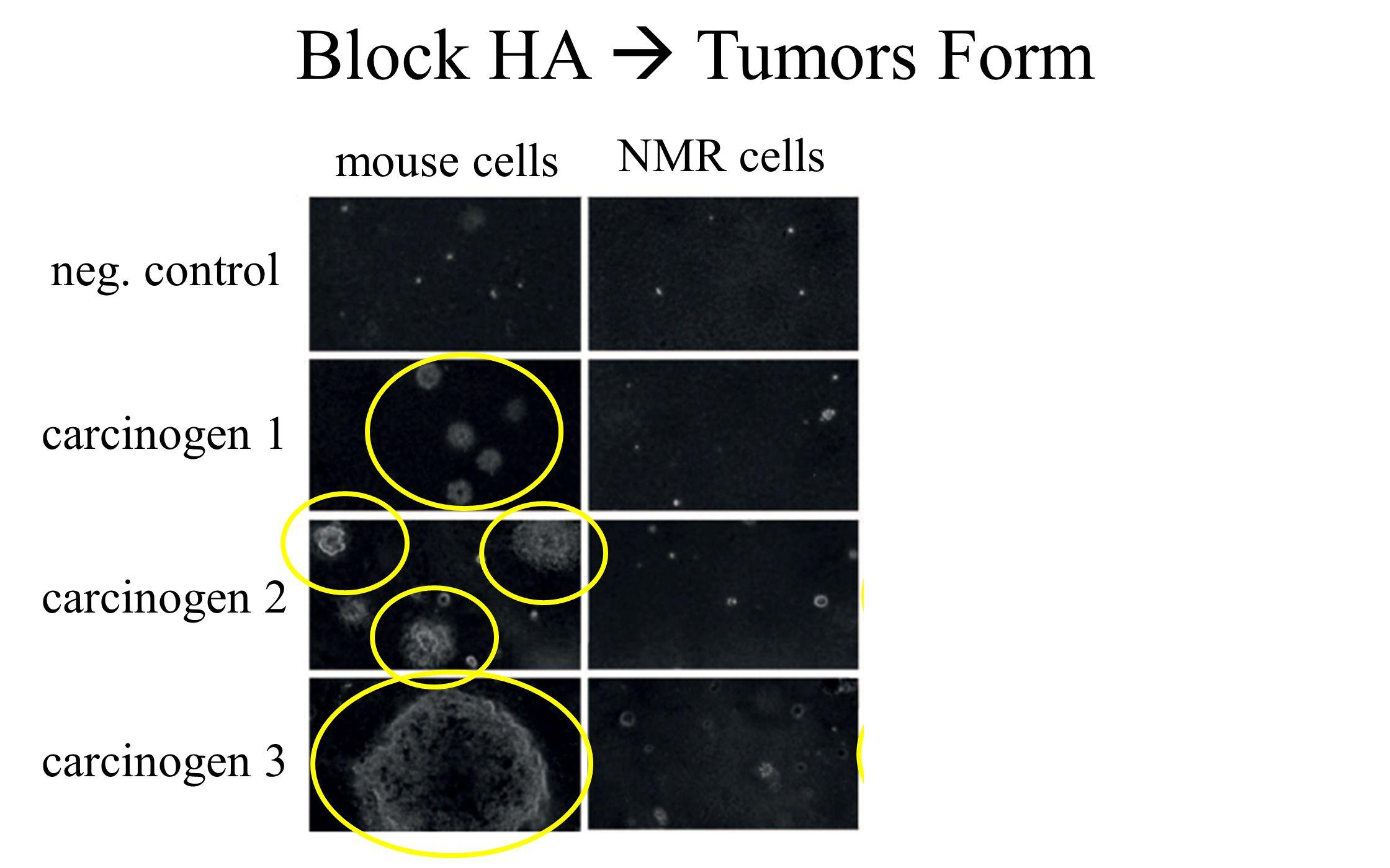 neg. control carcinogen 1 carcinogen 2 carcinogen 3 NMR NMR - HAmouse cells Block HA  Tumors Form