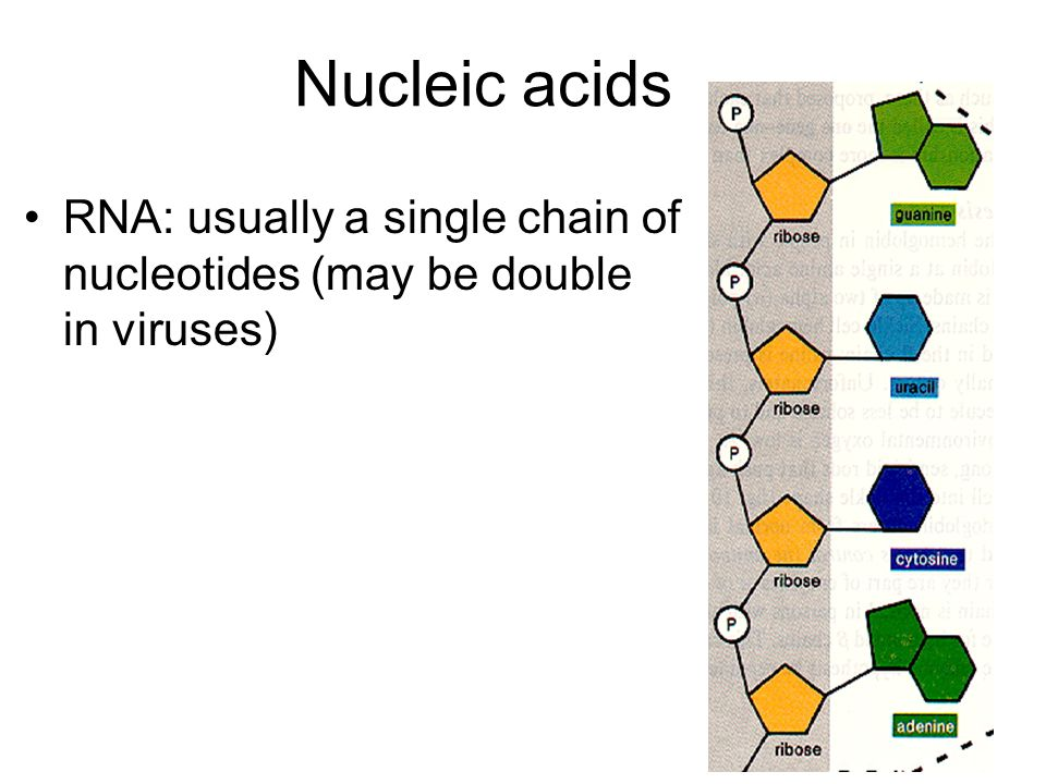 Nucleic acids RNA: usually a single chain of nucleotides (may be double in viruses)