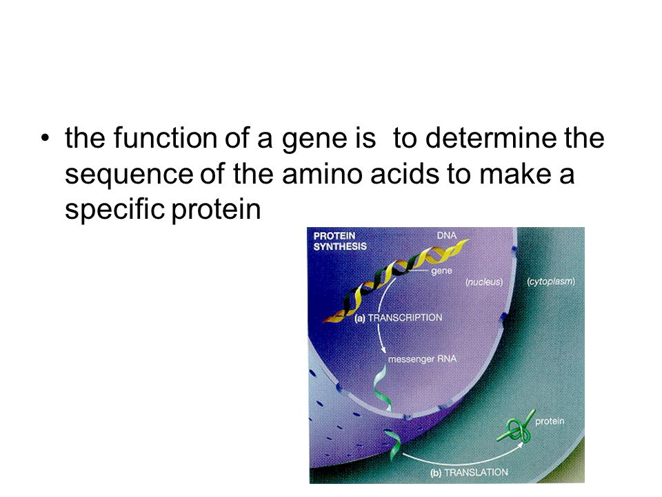 the function of a gene is to determine the sequence of the amino acids to make a specific protein