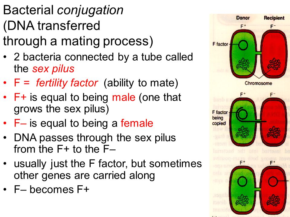 Bacterial conjugation (DNA transferred through a mating process) 2 bacteria connected by a tube called the sex pilus F = fertility factor (ability to mate) F+ is equal to being male (one that grows the sex pilus) F– is equal to being a female DNA passes through the sex pilus from the F+ to the F– usually just the F factor, but sometimes other genes are carried along F– becomes F+
