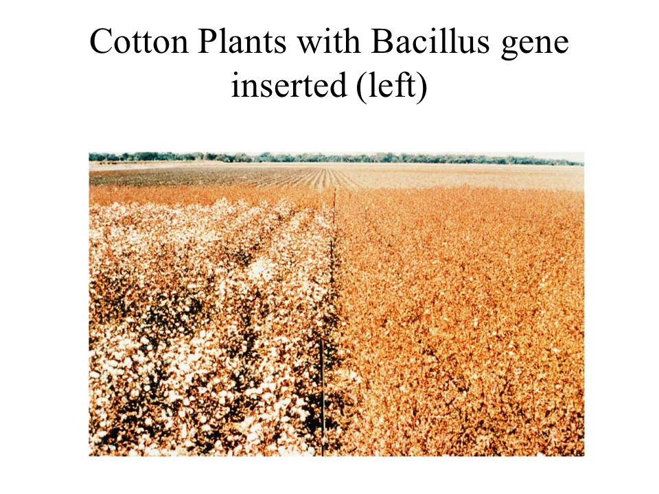 Cotton Plants with Bacillus gene inserted (left)