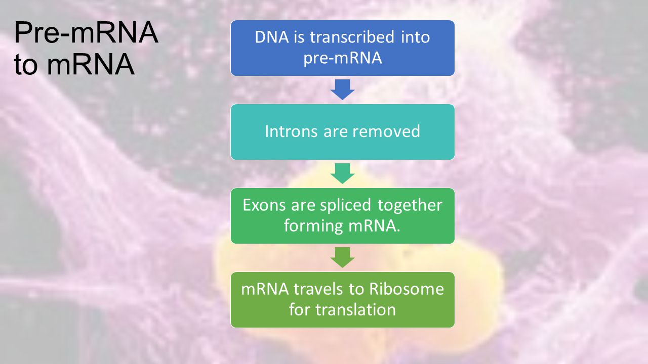 Pre-mRNA to mRNA DNA is transcribed into pre-mRNA Introns are removed Exons are spliced together forming mRNA.