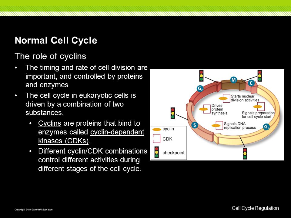 Normal Cell Cycle The role of cyclins The timing and rate of cell division are important, and controlled by proteins and enzymes The cell cycle in eukaryotic cells is driven by a combination of two substances.