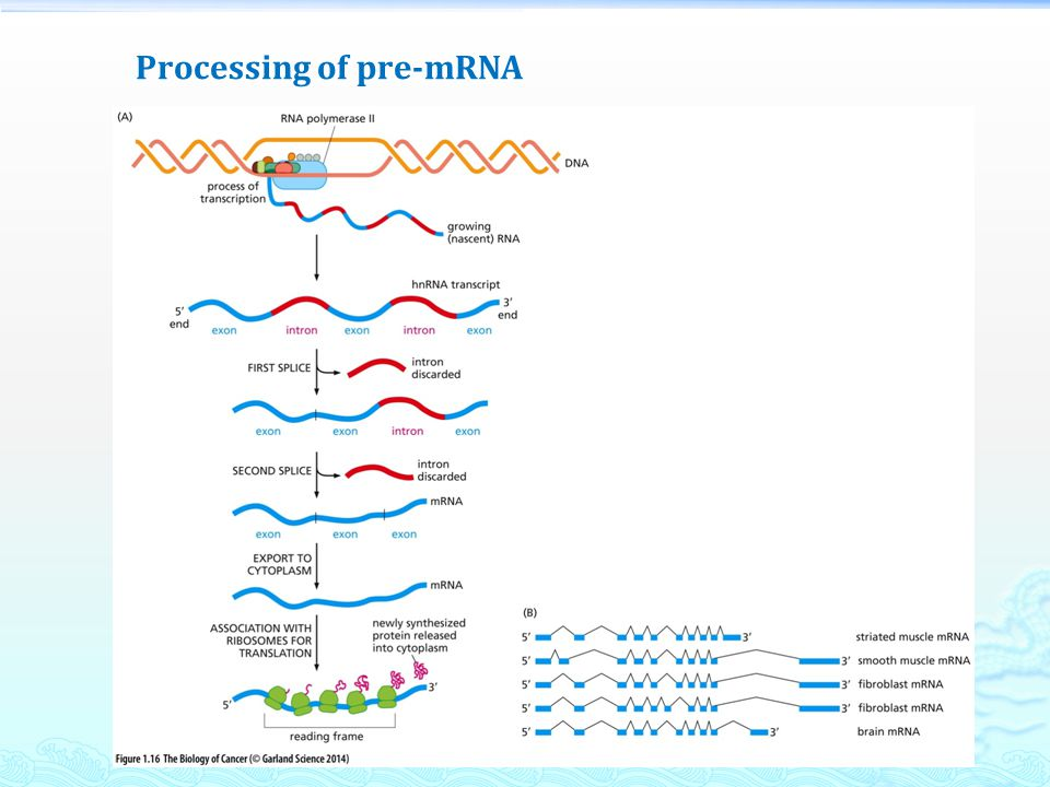 Processing of pre-mRNA