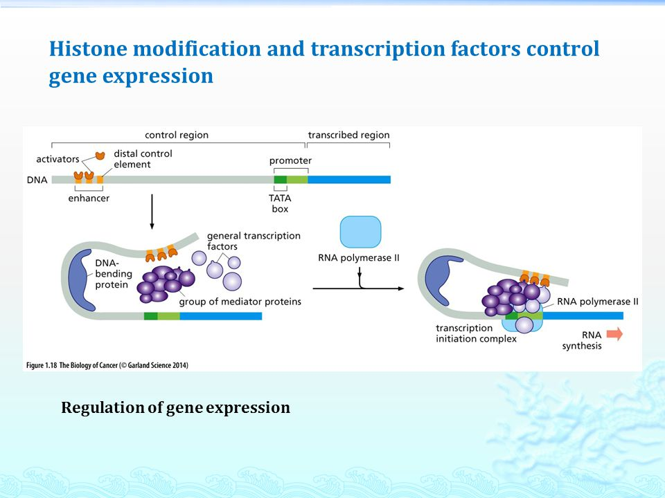 Histone modification and transcription factors control gene expression Regulation of gene expression
