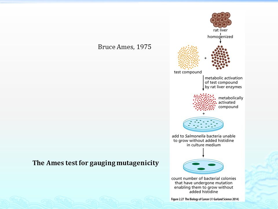The Ames test for gauging mutagenicity Bruce Ames, 1975