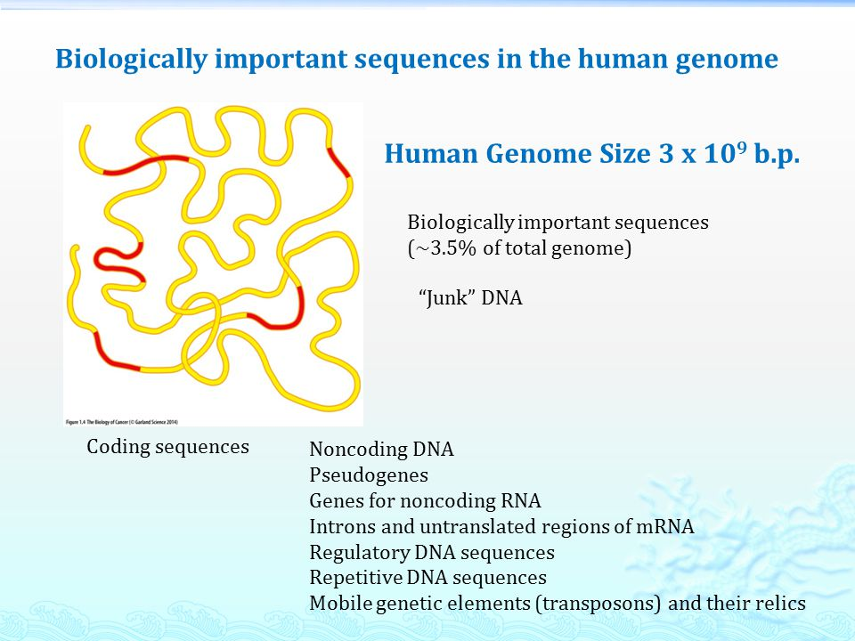 Junk DNA Biologically important sequences (~3.5% of total genome) Human Genome Size 3 x 10 9 b.p.