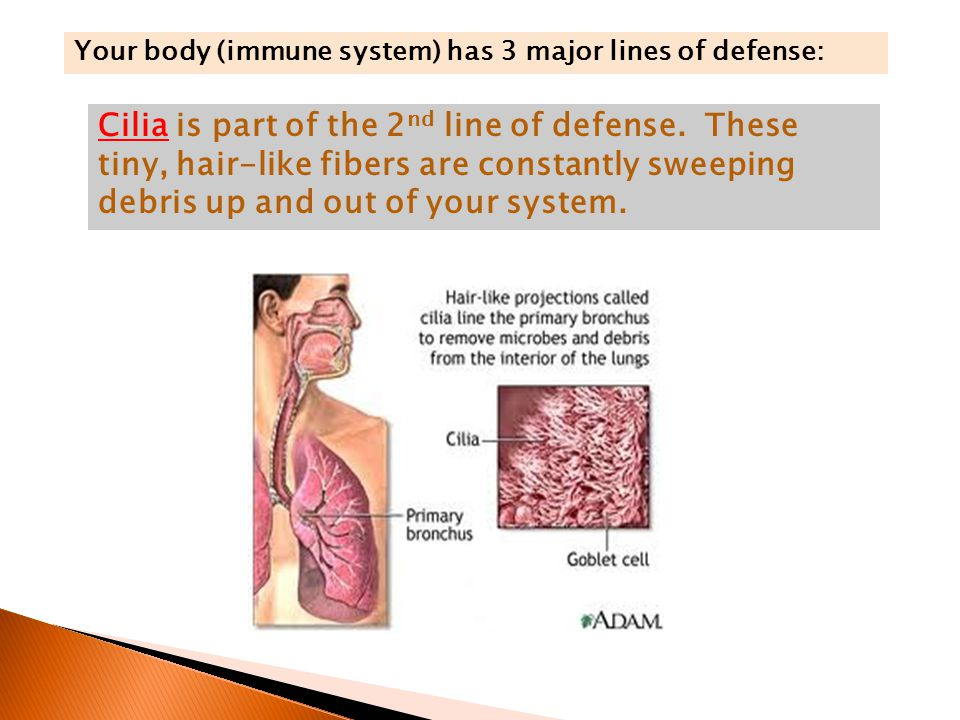 Your body (immune system) has 3 major lines of defense: Cilia is part of the 2 nd line of defense.