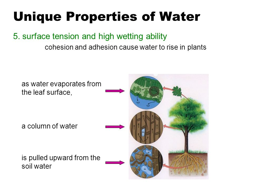 Unique Properties of Water 5. surface tension and high wetting ability cohesion and adhesion cause water to rise in plants as water evaporates from th