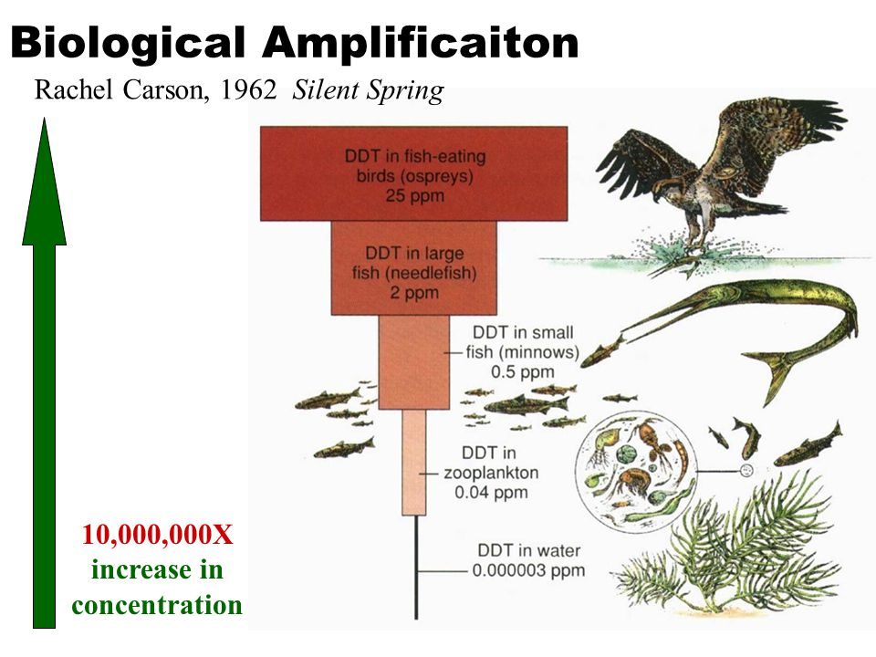 Biological Amplificaiton 10,000,000X increase in concentration Rachel Carson, 1962 Silent Spring