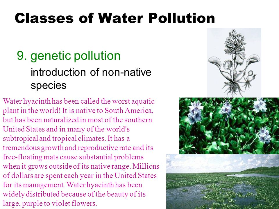 Classes of Water Pollution 9. genetic pollution introduction of non-native species Water hyacinth has been called the worst aquatic plant in the world
