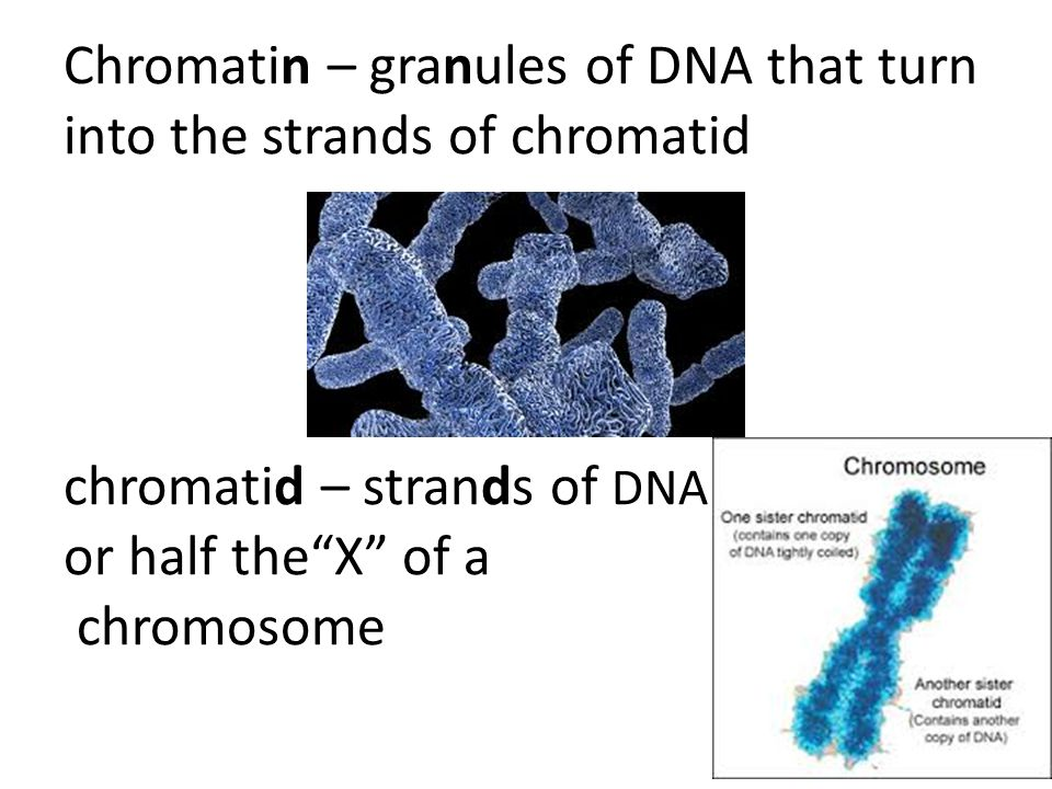 Chromatin – granules of DNA that turn into the strands of chromatid chromatid – strands of DNA or half the X of a chromosome