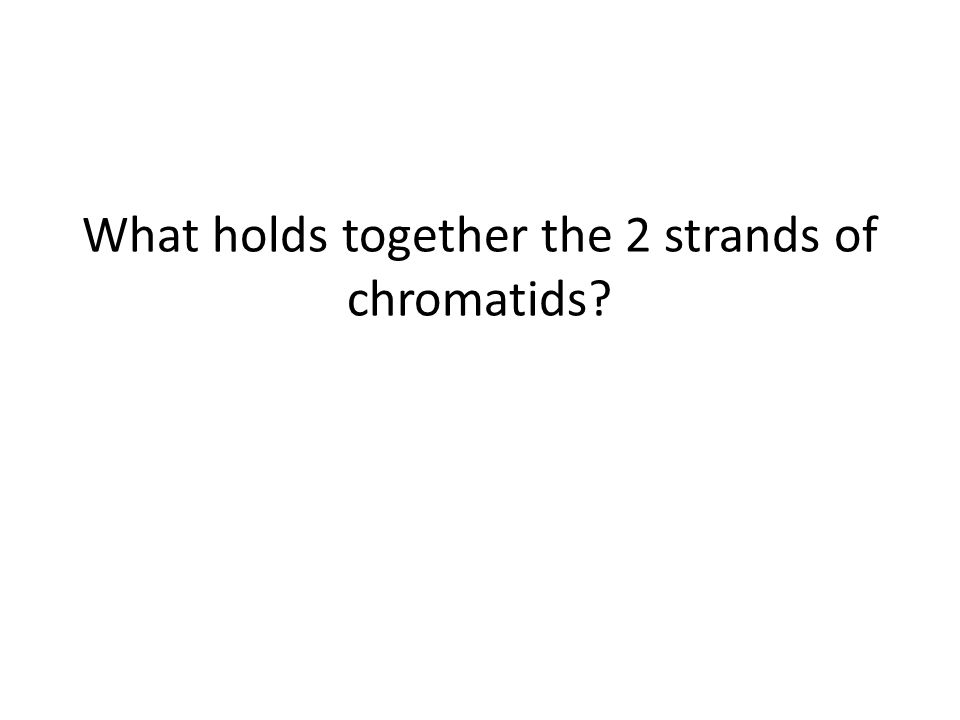 What holds together the 2 strands of chromatids