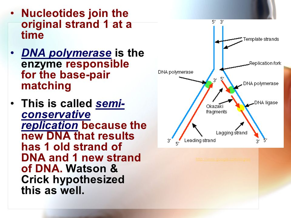 Nucleotides join the original strand 1 at a time DNA polymerase is the enzyme responsible for the base-pair matching This is called semi- conservative replication because the new DNA that results has 1 old strand of DNA and 1 new strand of DNA.