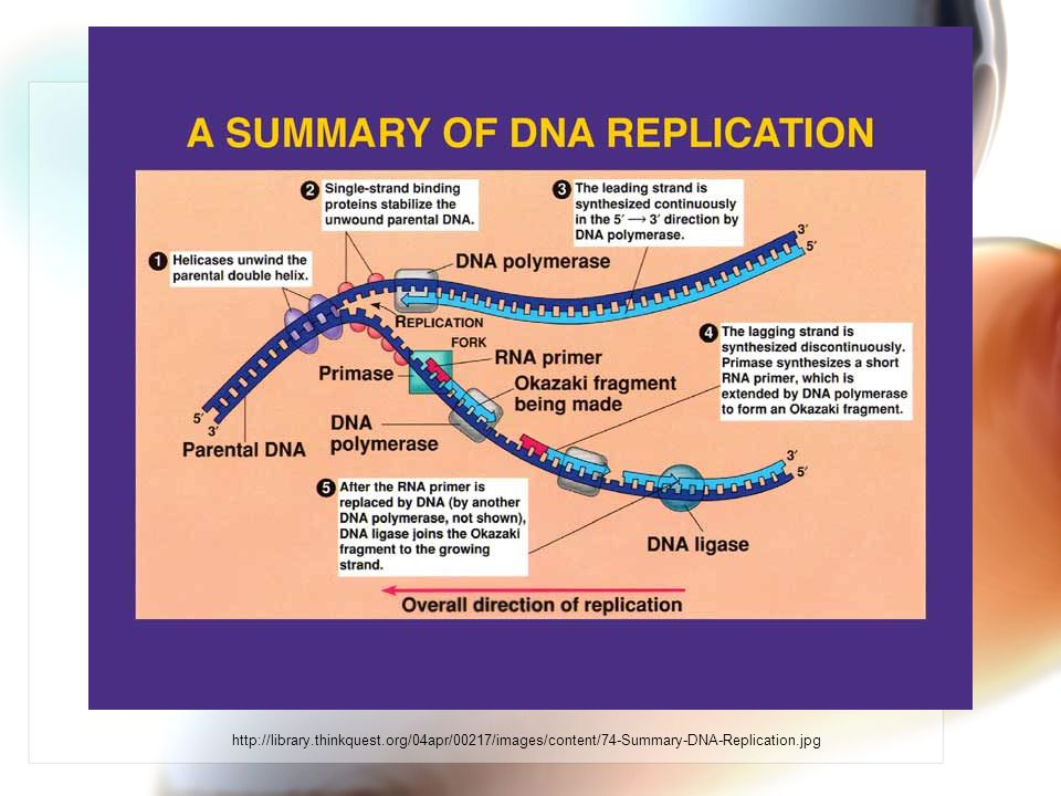 http://library.thinkquest.org/04apr/00217/images/content/74-Summary-DNA-Replication.jpg