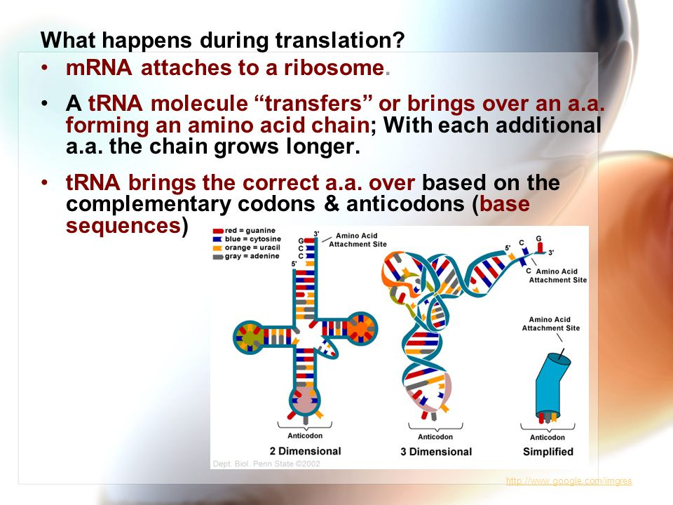 What happens during translation.mRNA attaches to a ribosome.