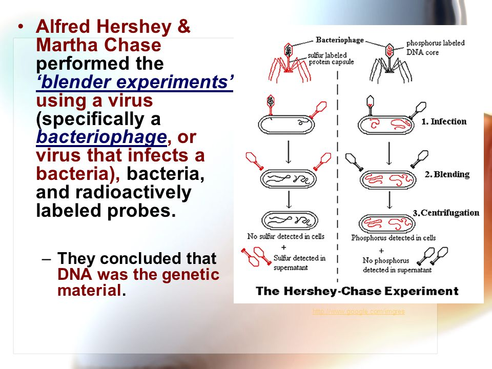 Alfred Hershey & Martha Chase performed the 'blender experiments' using a virus (specifically a bacteriophage, or virus that infects a bacteria), bacteria, and radioactively labeled probes.