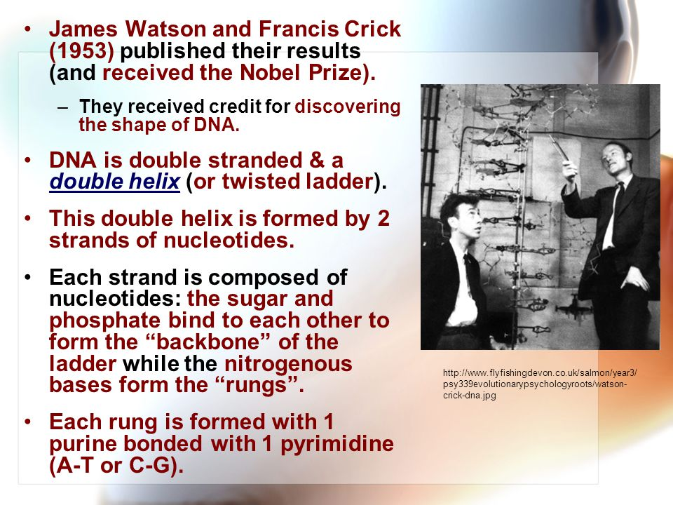 James Watson and Francis Crick (1953) published their results (and received the Nobel Prize).