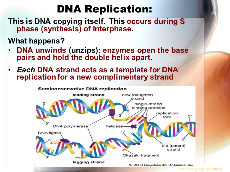 DNA Replication: This is DNA copying itself.This occurs during S phase (synthesis) of Interphase.