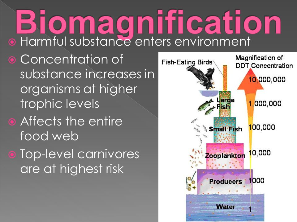  Harmful substance enters environment  Concentration of substance increases in organisms at higher trophic levels  Affects the entire food web  Top-level carnivores are at highest risk